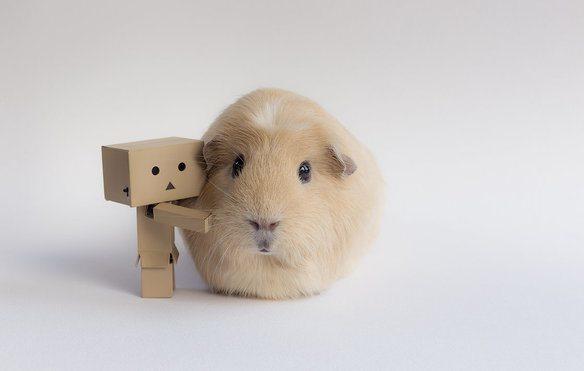 adorable-cobaya-causa-sensacion-en-las-redes-sociales-con-un-amigo