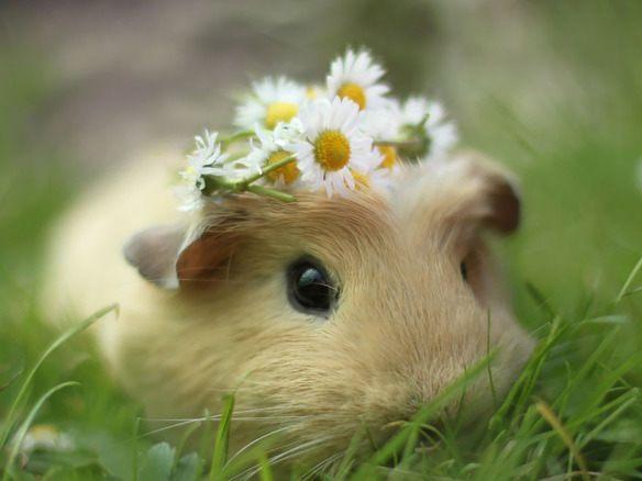 adorable-cobaya-causa-sensacion-en-las-redes-sociales-llevando-una-corona-de-flores