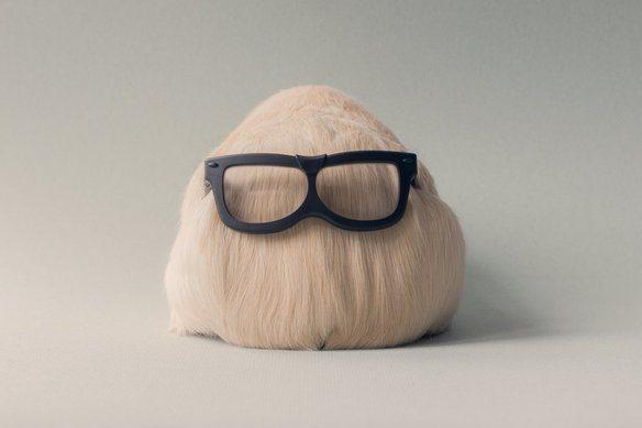 adorable-cobaya-causa-sensacion-en-las-redes-sociales-parte-trasera-con-gafas