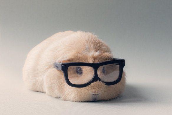 adorable-cobaya-causa-sensacion-en-las-redes-sociales-professor-boo-boo