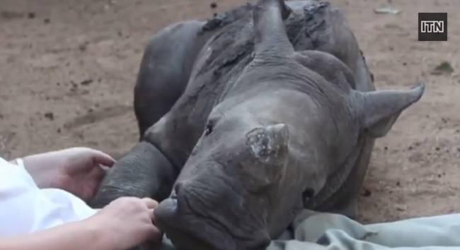 bebe-rinoceronte-es-incapaz-de-dormir-solo-despues-de-que-la-madre-fuera-brutalmente-asesinada-por-unos-cazadores-furtivos