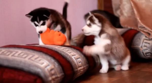 dos-cachorros-de-husky-pelean-por-un-juguete-y-su-madre-llega-para-poner-orden