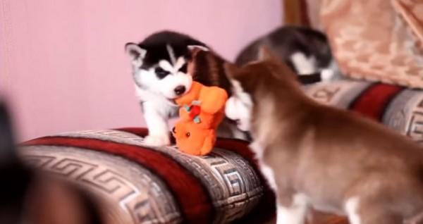 dos-cachorros-de-husky-pelean-por-un-juguete-y-su-madre-llega-para-poner-orden-momento-de-la-pelea