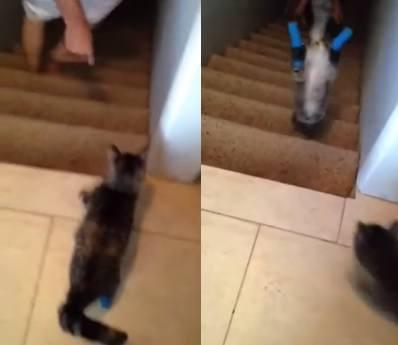gato-baja-las-escaleras-doble-amputacion-de-patas
