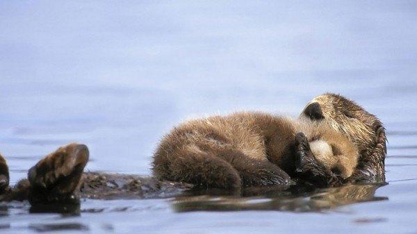 los-25-momentos-madre-e-hijo-mas-adorables-del-mundo-animal-cachorro-castor-durmiendo-sobre-su-madre
