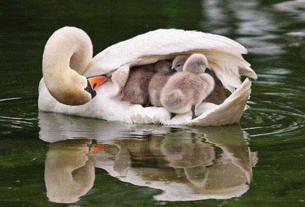los-25-momentos-madre-e-hijo-mas-adorables-del-mundo-animal-cisne-con-sus-patos