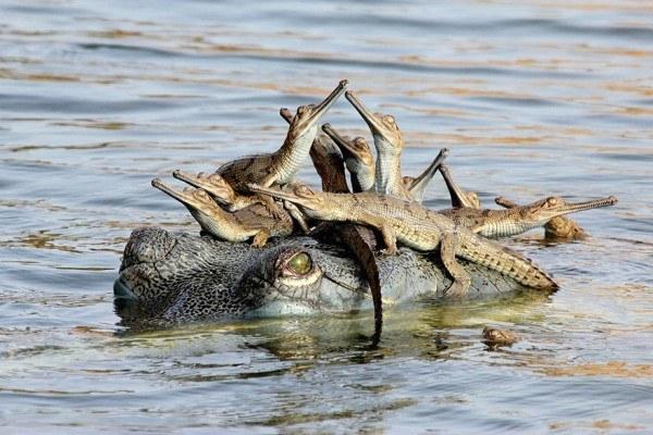 los-25-momentos-madre-e-hijo-mas-adorables-del-mundo-animal-cocodrilo-con-sus-crias