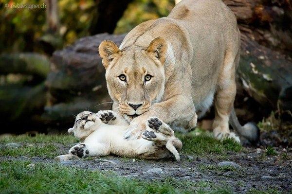 los-25-momentos-madre-e-hijo-mas-adorables-del-mundo-animal-leona-con-su-cachorro