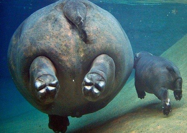 los-25-momentos-madre-e-hijo-mas-adorables-del-mundo-animal-madre-cria-hipopotamo-nadando
