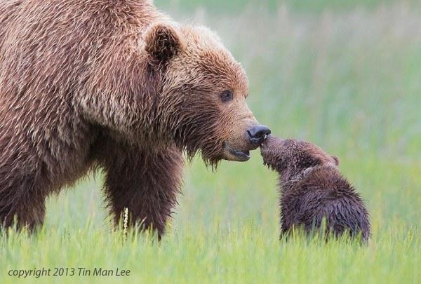 los-25-momentos-madre-e-hijo-mas-adorables-del-mundo-animal-madre-oso-besa-a-su-cria