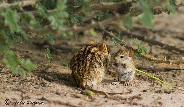 los-25-momentos-madre-e-hijo-mas-adorables-del-mundo-animal-madre-y-cria-raton-de-campo
