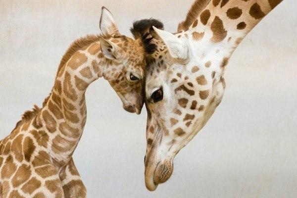 los-25-momentos-madre-e-hijo-mas-adorables-del-mundo-animal-mama-e-hijo-jirafa