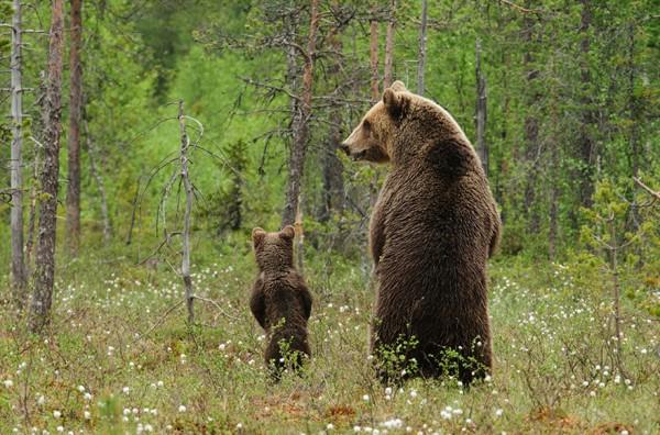 los-25-momentos-madre-e-hijo-mas-adorables-del-mundo-animal-osos-en-el-bosque