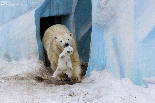los-25-momentos-madre-e-hijo-mas-adorables-del-mundo-animal-osos-polares
