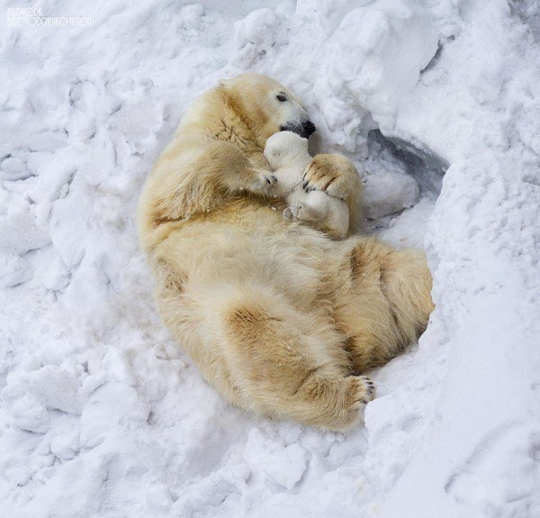 los-25-momentos-madre-e-hijo-mas-adorables-del-mundo-animal-osos-polares-tumbados-en-la-nieve