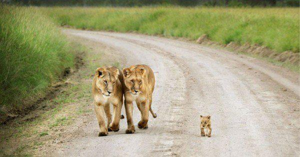 los-25-momentos-madre-e-hijo-mas-adorables-del-mundo-animal-pareja-de-tigres-con-cachorro