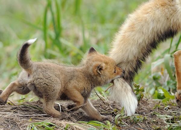 los-25-momentos-madre-e-hijo-mas-adorables-del-mundo-animal-pequeño-lobo-agarrado-a-la-cola-de-su-madre