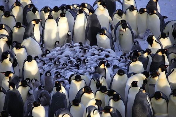 los-25-momentos-madre-e-hijo-mas-adorables-del-mundo-animal-pinguinos-con-sus-crias