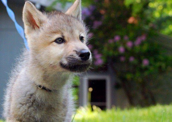 moriras-de-amor-al-ver-esto-un-cachorro-con-hipo-nikai-el-lobo-cachorro