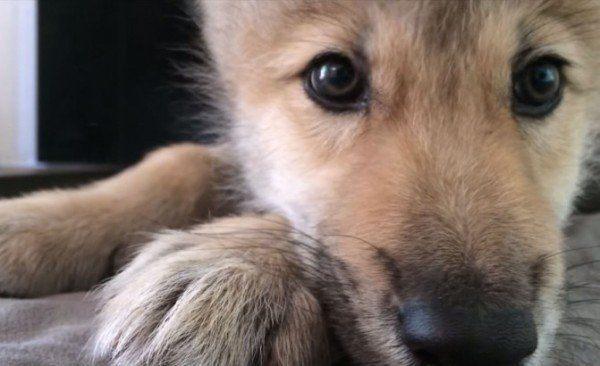 moriras-de-amor-al-ver-esto-un-cachorro-con-hipo-primer-plano-de-nikai