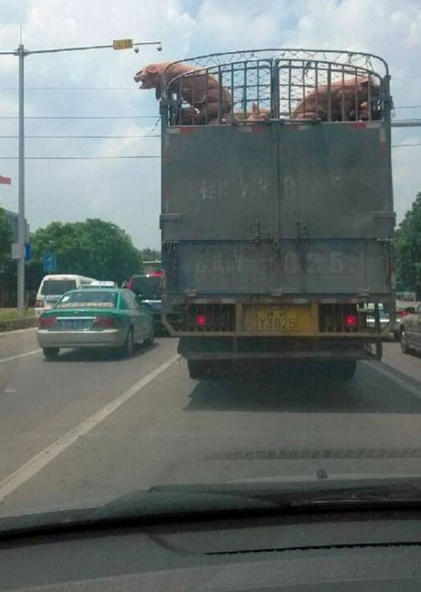 un-cerdo-salta-de-un-camion-que-lo-llevaba-al-matadero-y-salva-la-vida-al-ser-adoptado-por-un-policia