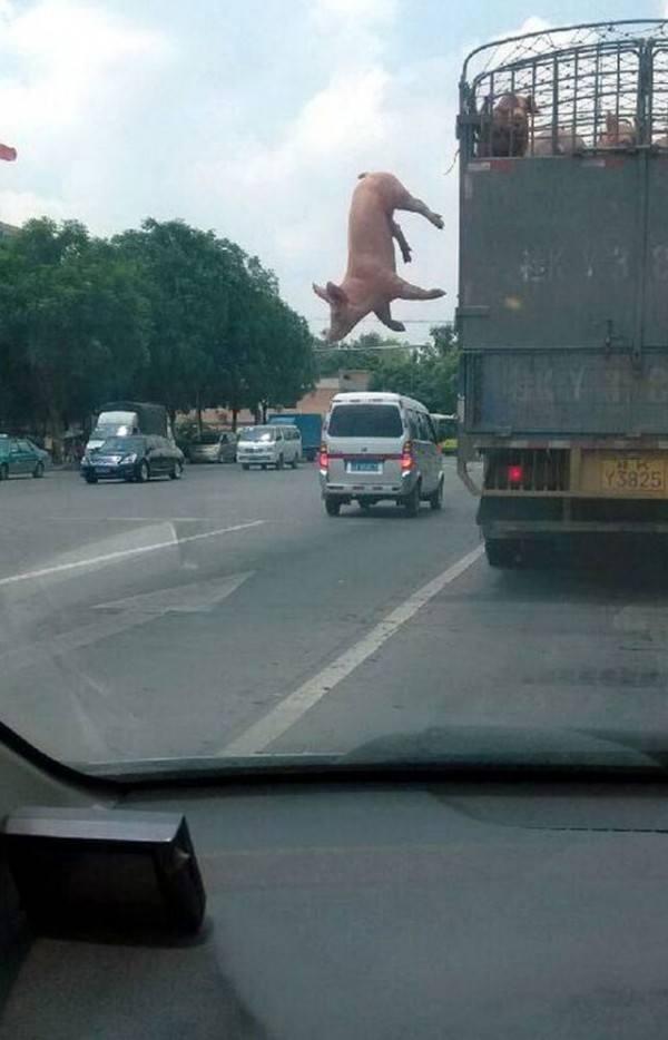 un-cerdo-salta-de-un-camion-que-lo-llevaba-al-matadero-y-salva-la-vida-al-ser-adoptado-por-un-policia-momento-del-salto