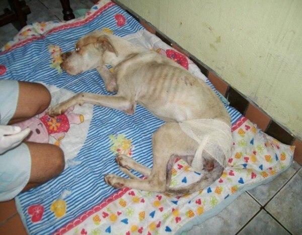 un-hombre-salva-la-vida-a-un-perro-de-la-raza-pit-bull-que-esta-a-punto-de-morir-davi-tumbado