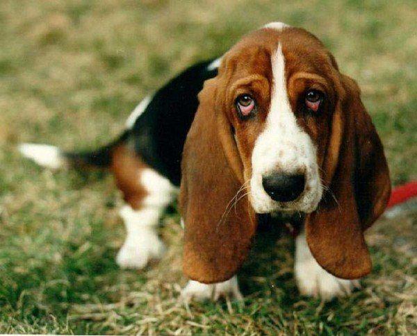 razas-de-perros-bassett-hound