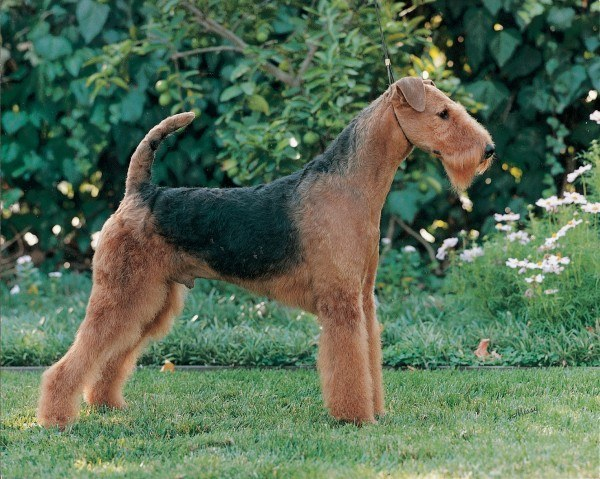 razas-de-perros-ingleses-airedale-terrier