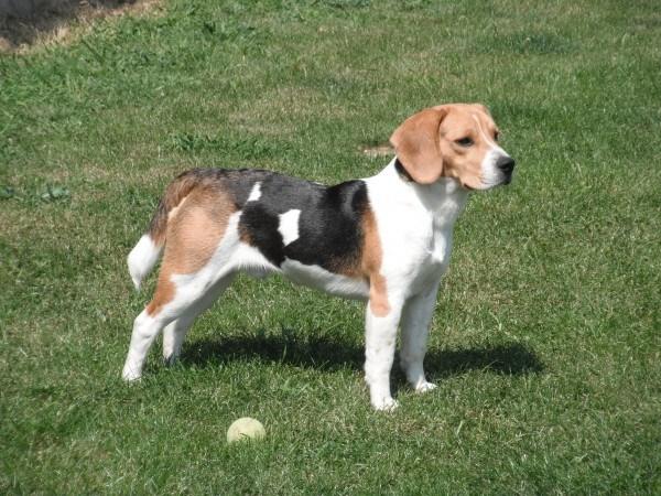 razas-de-perros-ingleses-beagle