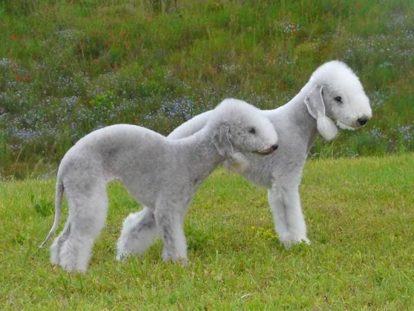 razas-de-perros-ingleses-bedlington