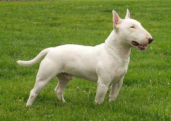 razas-de-perros-ingleses-bull-terrier