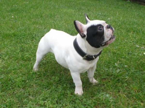 razas-de-perros-ingleses-bulldog-frances