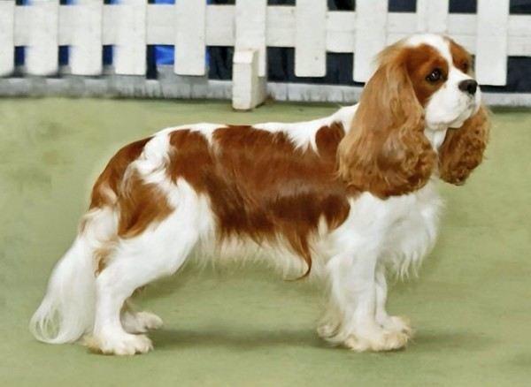razas-de-perros-ingleses-cavalier