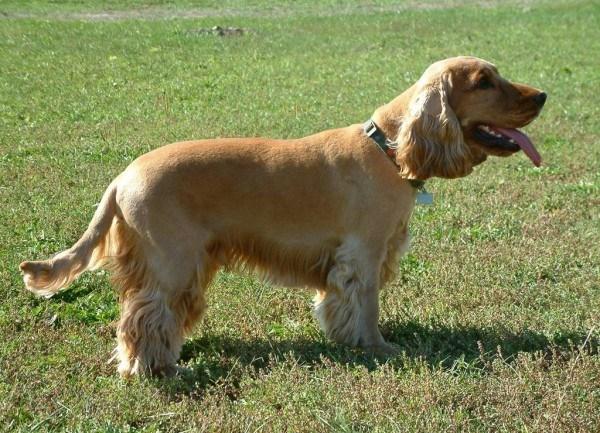 razas-de-perros-ingleses-cocker-spaniel