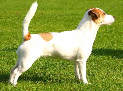 razas-de-perros-ingleses-russell-terrier