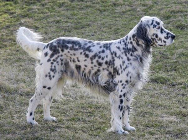 razas-de-perros-ingleses-setter-ingles