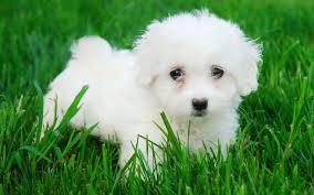 razas-de-perros-mediterraneos-bichon-maltes
