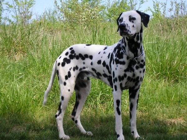 razas-de-perros-mediterraneos-dalmata