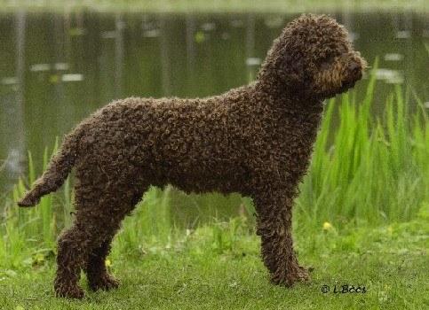 razas-de-perros-mediterraneos-lagotto-romagnolo