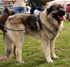 razas-de-perros-mediterraneos-sarplaninac