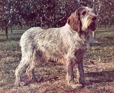 razas-de-perros-mediterraneos-spinone