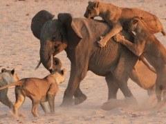 Elefante sobrevive al ataque de 14 leonas | Vídeo