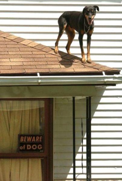 fotos-originales-de-cuidado-con-el-perro-perro-en-el-tejado
