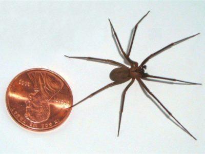 La araña violinista - Dónde habita y los efectos de su picadura