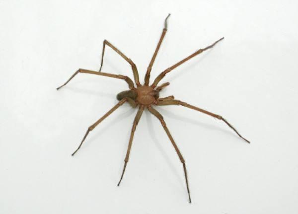 La araña violinista - Dónde habita y los efectos de su picadura ...