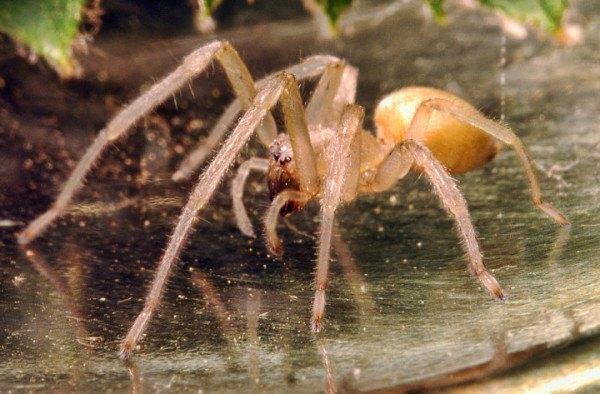 las-10-aranas-venenosas-mas-peligrosas-del-mundo-araña-de-saco-amarillo