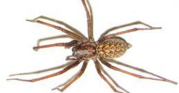 Las 10 arañas venenosas más peligrosas del mundo