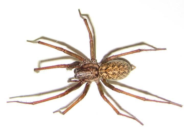 Las 10 arañas venenosas más peligrosas del mundo - AnimalesMascotas
