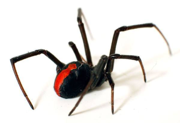 las-10-aranas-venenosas-mas-peligrosas-del-mundo-viuda-negra-de-espalda-roja